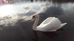 красивейшая белизна лебедя Стоковые Фото