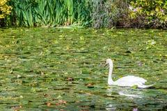 красивейшая белизна лебедя стоковое фото rf