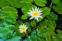красивейшая белизна лотоса Стоковое Фото