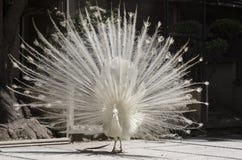 красивейшая белизна павлина Стоковая Фотография