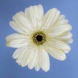 красивейшая белизна хризантемы стоковое фото