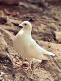 красивейшая белизна dove стоковые изображения