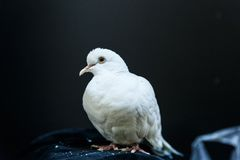 красивейшая белизна dove стоковая фотография