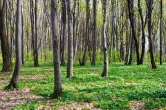 красивейшая весна пущи Стоковое Изображение RF