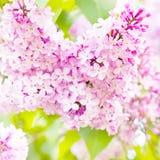 красивейшая весна цветков Ветвь цветков сирени с leav Стоковое Фото