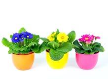 красивейшая весна primula цветков Стоковое фото RF