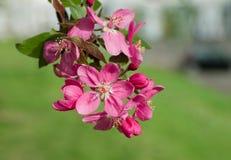 красивейшая вишня первое цветет японская весна sakura посыльного Стоковое Изображение RF