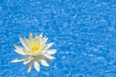 красивейшая вода бассеина лилии Стоковая Фотография