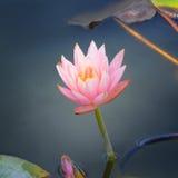 красивейшая вода лилии Стоковое Изображение