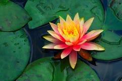 красивейшая вода лилии Стоковое Изображение RF