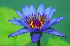 красивейшая вода лилии Стоковые Фотографии RF