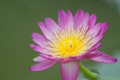красивейшая вода пурпура лилии Стоковые Фотографии RF