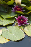 красивейшая вода лилии Стоковая Фотография