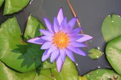 красивейшая вода пурпура лилии Стоковая Фотография