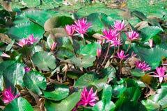 красивейшая вода пурпура лилий Стоковое Фото