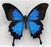 красивейшая голубая бабочка Стоковое фото RF