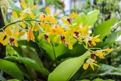Красивейшая желтая орхидея в саде Стоковое Изображение