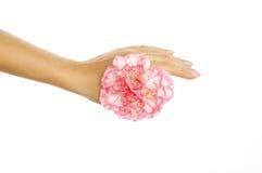 красивейшая женщина пинка руки gillyflower Стоковое Изображение RF