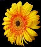 Красивейшая желтая маргаритка Стоковое Изображение RF