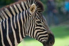 красивейшая зебра Стоковые Изображения