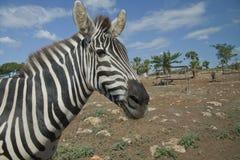 Красивейшая зебра Стоковые Изображения RF