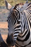 Красивейшая зебра Стоковая Фотография RF