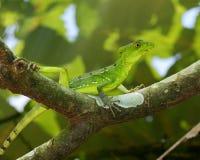 Красивейшая зеленая и голубая ящерица на ветви Стоковое фото RF