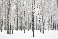 красивейшая зима birchwood Стоковое Фото