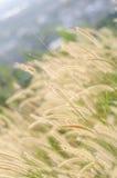 Красивейшая золотистая трава фонтана Стоковые Изображения RF