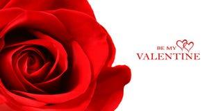 красивейшая изолированная белизна розы красного цвета стоковая фотография rf
