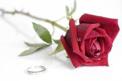 красивейшая изолированная роза красного цвета одиночная Стоковое фото RF