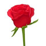 красивейшая изолированная белизна розы красного цвета с влиянием акварели Стоковая Фотография