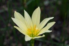 красивейшая лилия Стоковое фото RF