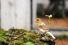 красивейшая канерейка птицы Стоковая Фотография RF