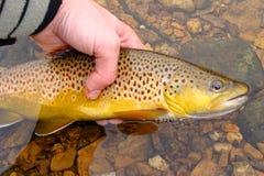 красивейшая коричневая муха рыболовства выпуская форель Стоковые Фото