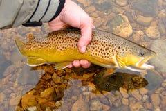 красивейшая коричневая муха рыболовства выпуская форель Стоковое фото RF