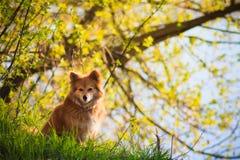 Красивейшая красная собака в поле Стоковые Фотографии RF
