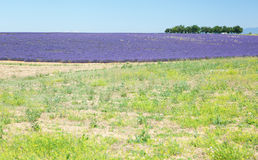 красивейшая лаванда поля Стоковое Изображение RF