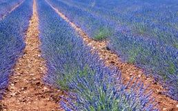 красивейшая лаванда поля Стоковые Фото