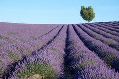 красивейшая лаванда поля Стоковая Фотография