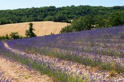 красивейшая лаванда Провансаль поля стоковое фото rf