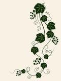 красивейшая лоза силуэта виноградины Стоковое Фото