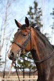 Красивейшая лошадь залива с портретом уздечки Стоковая Фотография