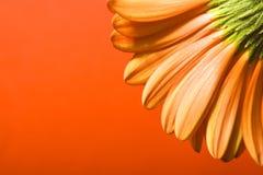 красивейшая маргаритка Стоковое Изображение