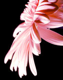 красивейшая маргаритка Стоковые Изображения RF
