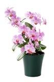 Красивейшая орхидея в изолированном тайник-баке Стоковые Фото
