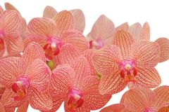 красивейшая орхидея тропическая Стоковое фото RF