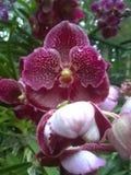 красивейшая орхидея Стоковое Фото