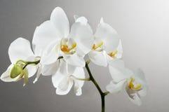 красивейшая орхидея Стоковая Фотография