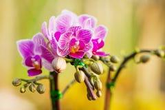 красивейшая орхидея цветков Стоковые Изображения RF